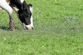 Biofleisch von Mallorca-Rindern