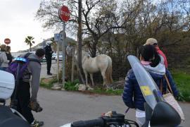 Pferd des Alkalden von Andratx erneut ausgebüxt