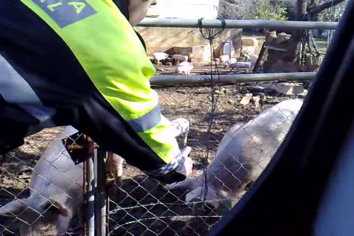 Polizisten besprühen Schweine mit Pfefferspray