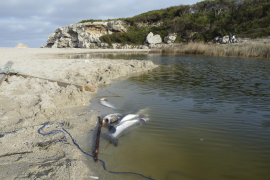 Fischsterben im Torrent von Can Picafort