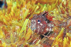 Aufgrund der Tentakel im Augenbereich wird diese Art Geweihschleimfisch genannt. Das Tier ist nachtaktiv.