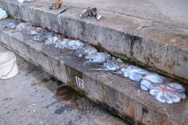 Die illegal gefischten Pulpos.