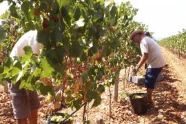 Gute Aussichten für Weinlese auf Mallorca