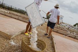 Salzblume gehört auf Mallorca zu den Exportschlagern. Foto: UH