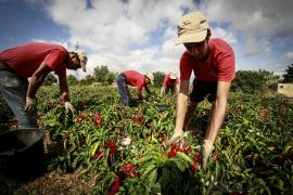 Auf Mallorca beginnt die Paprika-Ernte