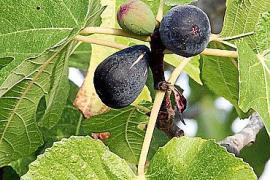 Die Früchte werden zwischen August und Oktober per Hand geerntet.