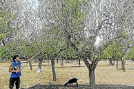 Problematischer als der Pilz ist für die Mandelbauern die Konkurrenz in Kalifornien.