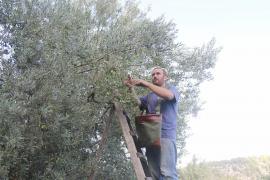 Vor allem in den Hügeln rund um das Tramuntana-Gebirge ist die Ernte oft schwierig.