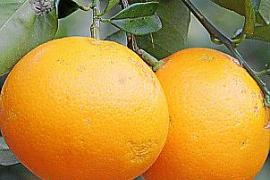 Orangen an einem Baum in Sóller auf Mallorca.
