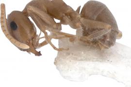 Mallorca-Ameise vom Aussterben bedroht