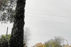 Solitärpflanze an der Einfahrt von Consell.