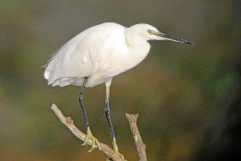 3000 Tier- und Pflanzenarten leben ganzjährig oder einen Teil des Jahres im Naturpark Albufera, darunter der Seidenreiher.