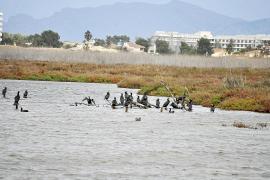 Die Süßwasserkormorane lieben die flache Ebene der Albufera.