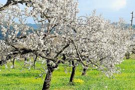 Blauer Himmel und grüne Wiesen geben die Kulisse für die Mandelblüte ab.