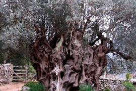 Der Olivenbaum von Mortitx auf Mallorca.