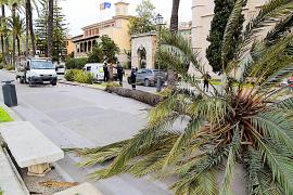 Wind fällt Palme vor Regierungssitz