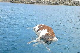 Rätsel um tote Kuh im Meer gelöst