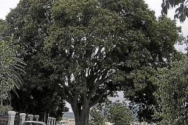 Der wohl größte Zürgelbaum der Insel steht vor dem Friedhof in Montuïri.