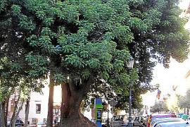 An der Plaça de la Reina in Palma steht dieser Elefantenbaum.