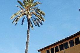 Einzelne Dattelpalme in der Altstadt von Palma.