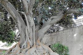 Ein enormer Gummibaum wächst in den Gärten der Misericòrdia-Gärten in Palma.