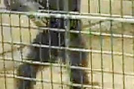 Archivbild von Schimpanse Adam im Safari Zoo auf Mallorca.