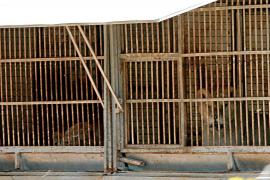 Polizei ermittelt wegen illegaler Löwen-Haltung