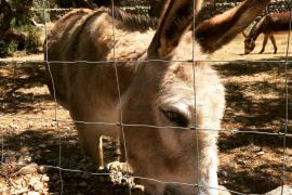 Der Wanderer bleibt nicht lang allein: So mancher Finca-Besitzer hält sich einen Esel