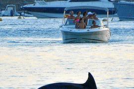 Überraschungsgast in Port d'Andratx: Ein Delfin zog seine Bahnen.