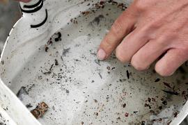Die Tigermücke wächst im Wasser heran, die Larven werden in Flüssigkeit gelegt.