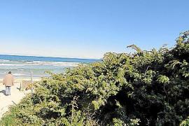 Juniperus phoenicea, wächst wild auf der Insel, hier direkt am Meer.