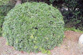 """Pistacia lentiscus, heimische """"mata"""", als Kugel beschnitten."""