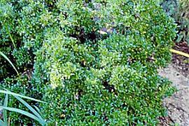 Eunymus pulchellus hat winzige Blätter. Hier frei wachsend.