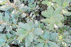 Pittosporum tobira mit weiß panaschierten Blättern.
