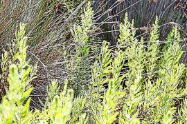 Die Flora in Cala Mondragó zeigt sich zu jeder Jahreszeit von einer anderen Seite.