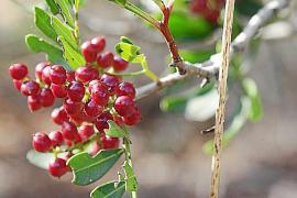 Die Wildpistazie ist im Frühherbst an vielen Stellen zu finden.