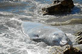 Seltener Schnabelwal angespült