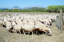 Freilaufend auf Wiesen und Äckern: Schafzucht auf Mallorca.