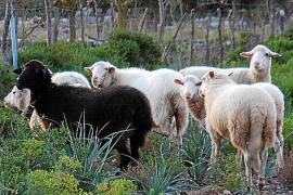 Menschliche Nachbarn gibt es in Binifaldó auf Mallorca nicht, trotzdem ist tierisch was los.