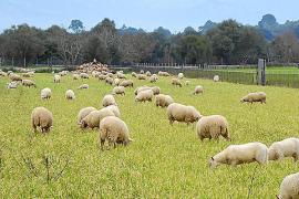 Lebende Rasenmäher für Sineu