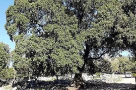 """20 Meter hoch, 600 Jahre alt: Diese Steineiche """"d' en Pere"""" ist als Naturdenkmal geschützt und steht auf der Finca Binifaldo."""