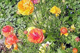 Ranunkeln sind äußerst dankbare Blüher.