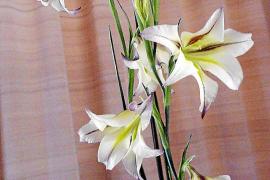 Dieses Foto zeigt die einzige duftende Gladiolenart. Sie kommt aus Südafrika.