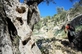 Auch der Weg von Lloseta nach Tossals Verds führt durch einen eindrucksvollen Olivenhain.