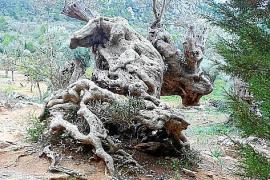"""Olivenbäume nehmen oft bizarre Formen an. Dieser bei Sóller etwa trägt wegen seines Aussehens den Beinamen """"El Camello"""" - das Ka"""