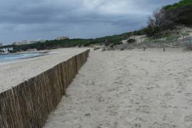 Weidenzäune zwischen Dünen und Strand sollen verhindern, dass der Sand in Cala Agulla im Norden von Mallorca ins Meer geweht wir