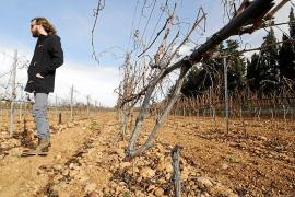 Mehr als 1200 Weinstöcke wurden durchtrennt.