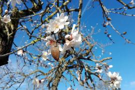 Die ersten Mandelbäume blühen schon