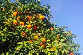 Stehen auf Mallorca an jeder Ecke: Orangenbäume.