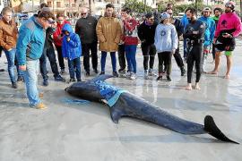 Hai tötet Delfin vor Mallorca